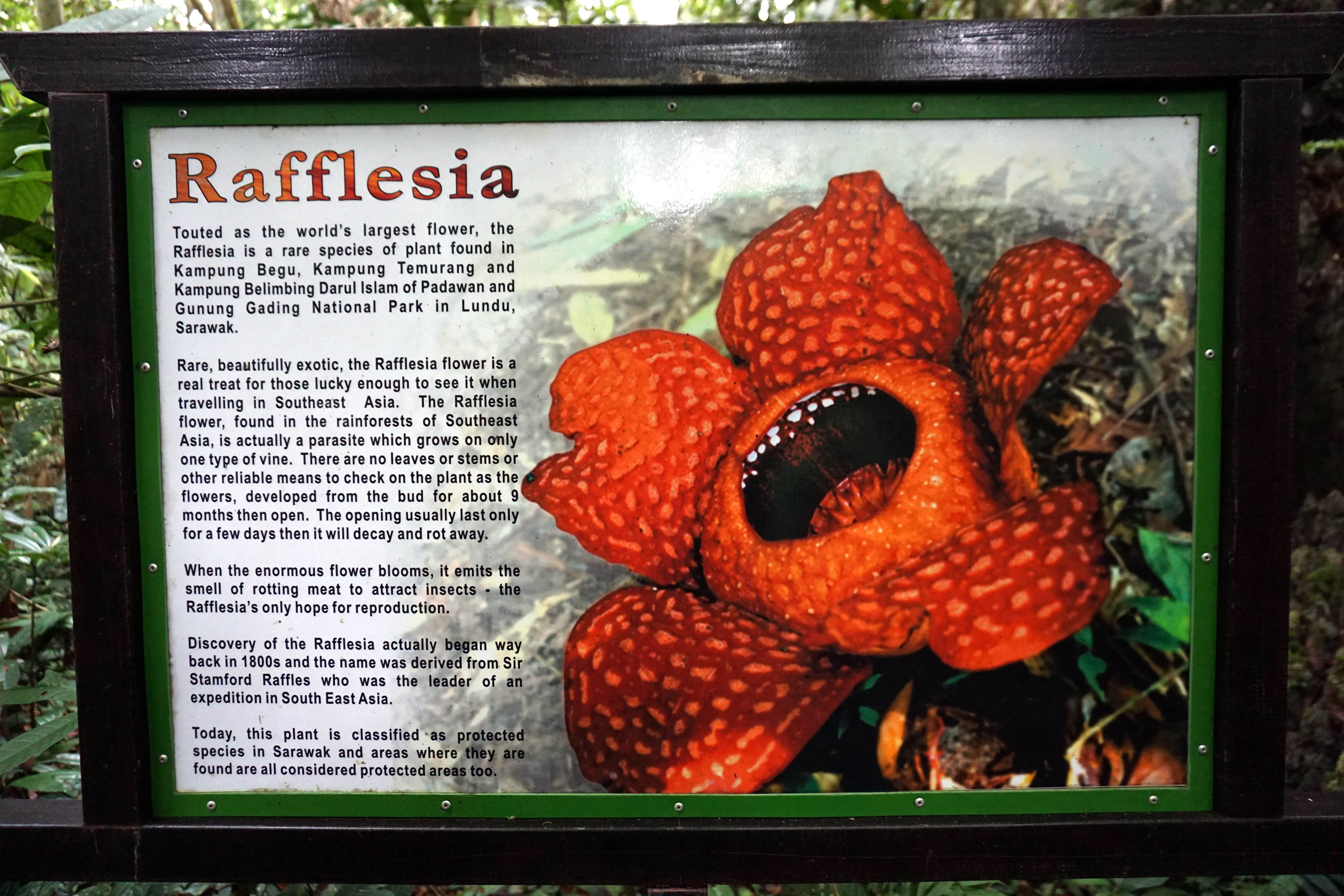 Explanation on Rafflesia in Kampung Begu with Backyard Tour Malaysia
