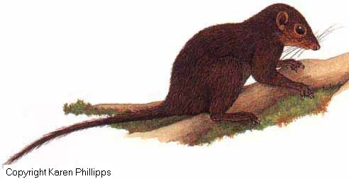 Bornean Smooth-tailed Treeshrew, mammals of Borneo
