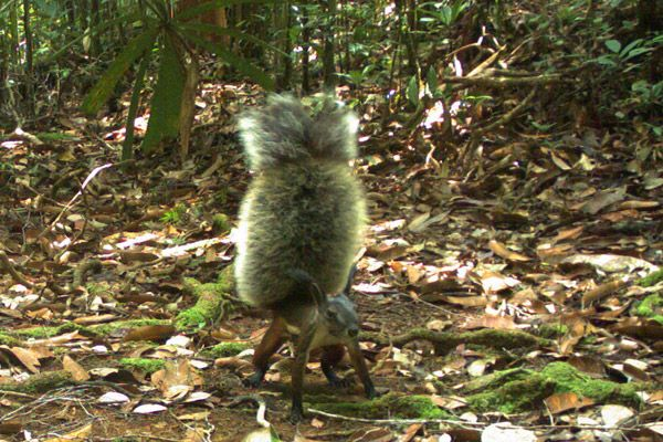 squirrels, mammals of Borneo