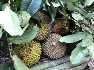 Durians fruity reward with Backyard Tour Malaysia