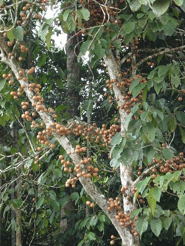 Discover 10 Exotic Fruits From Borneo - Backyard Tour